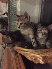 Savannah Mix Kitten
