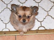 Chihuahuas 2 Buben suchen ein
