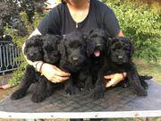 Russische Schwarze Terrier 8 VDH