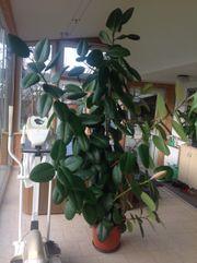 Gummibaum (Ficus) ca.