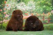 2 Zwergspitz Pomeranian (