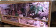 6 Leopardengeckos mit ohne Terrarium